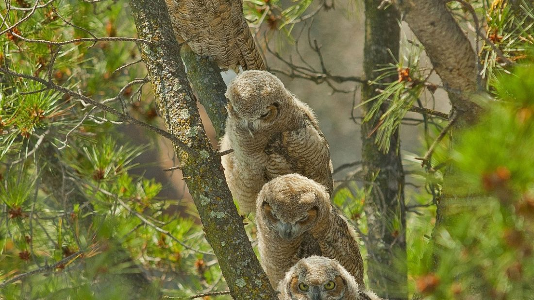 1496485607great-horned-owls-1591288_1280-1100x618.jpg